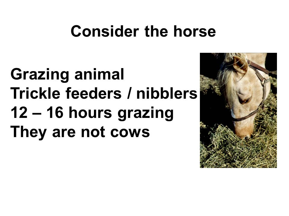 Consider the horse Grazing animal Trickle feeders / nibblers 12 – 16 hours grazing They are not cows