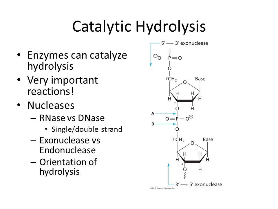 Catalytic Hydrolysis Enzymes can catalyze hydrolysis Very important reactions.