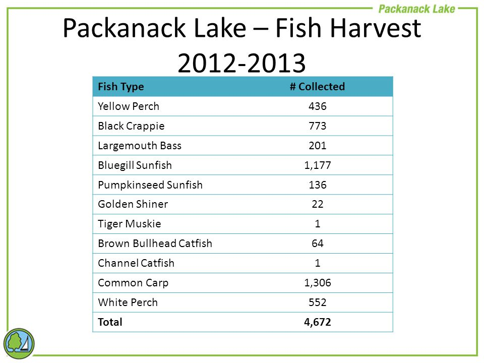 Packanack Lake – Fish Harvest 2012-2013 Fish Type# Collected Yellow Perch436 Black Crappie773 Largemouth Bass201 Bluegill Sunfish1,177 Pumpkinseed Sunfish136 Golden Shiner22 Tiger Muskie1 Brown Bullhead Catfish64 Channel Catfish1 Common Carp1,306 White Perch552 Total4,672