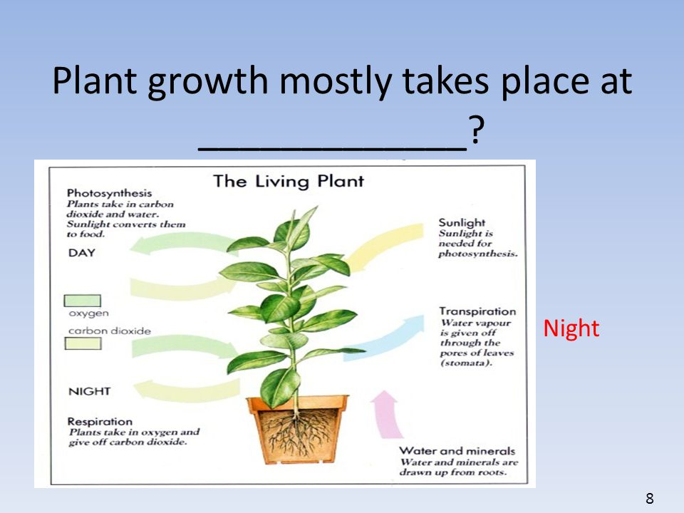 Plant growth mostly takes place at _____________? Night 8