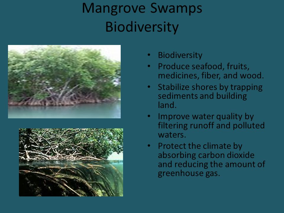 Mangrove Swamps Biodiversity Biodiversity Produce seafood, fruits, medicines, fiber, and wood. Stabilize shores by trapping sediments and building lan
