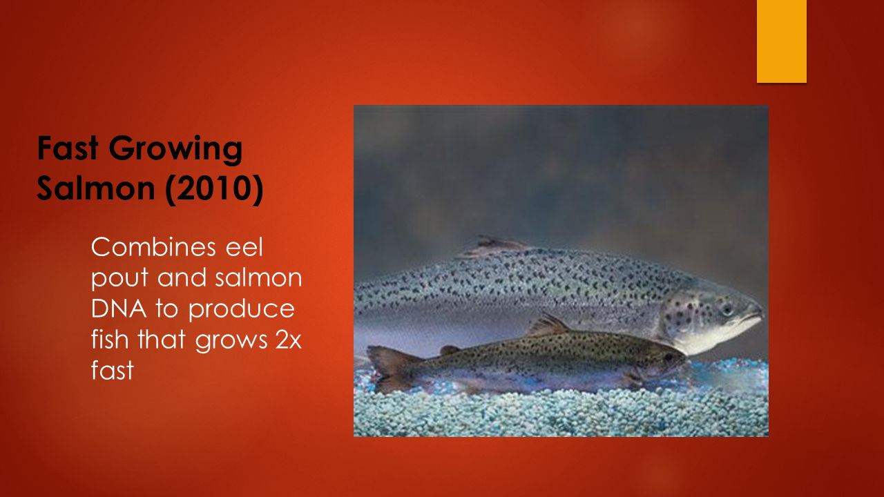 Fast Growing Salmon (2010) Combines eel pout and salmon DNA to produce fish that grows 2x fast