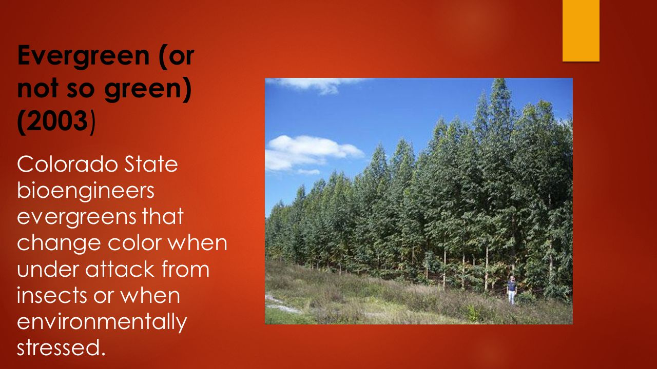 Evergreen (or not so green) (2003 ) Colorado State bioengineers evergreens that change color when under attack from insects or when environmentally stressed.