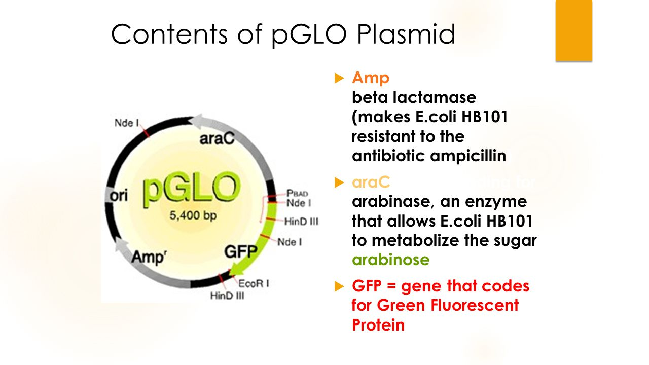 Contents of pGLO Plasmid  Amp = gene coding for beta lactamase (makes E.coli HB101 resistant to the antibiotic ampicillin)  araC = gene coding for arabinase, an enzyme that allows E.coli HB101 to metabolize the sugar arabinose  GFP = gene that codes for Green Fluorescent Protein