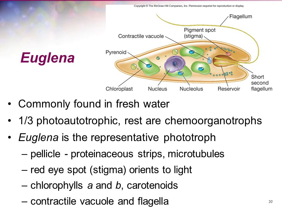 Euglena Commonly found in fresh water 1/3 photoautotrophic, rest are chemoorganotrophs Euglena is the representative phototroph –pellicle - proteinace