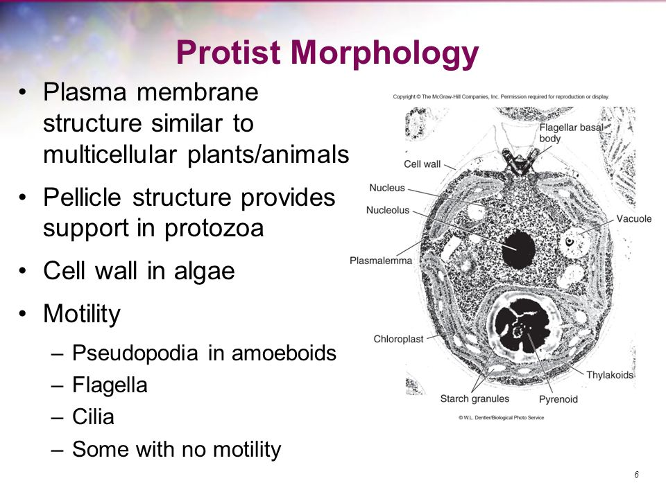 Protist Morphology Plasma membrane structure similar to multicellular plants/animals Pellicle structure provides support in protozoa Cell wall in alga