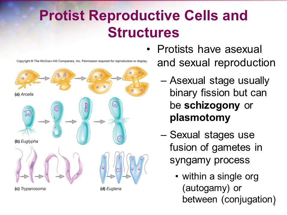 Protist Reproductive Cells and Structures Protists have asexual and sexual reproduction –Asexual stage usually binary fission but can be schizogony or