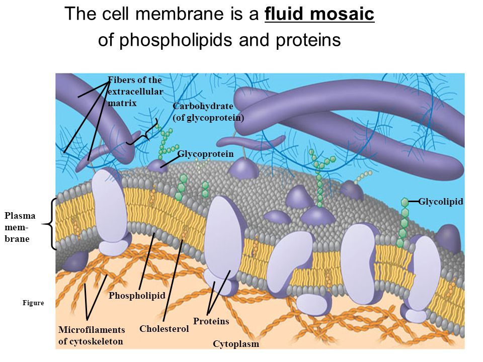 The cell membrane is a fluid mosaic of phospholipids and proteins Figure 5.12 Fibers of the extracellular matrix Carbohydrate (of glycoprotein) Glycoprotein Microfilaments of cytoskeleton Phospholipid Cholesterol Proteins Plasma mem- brane Glycolipid Cytoplasm