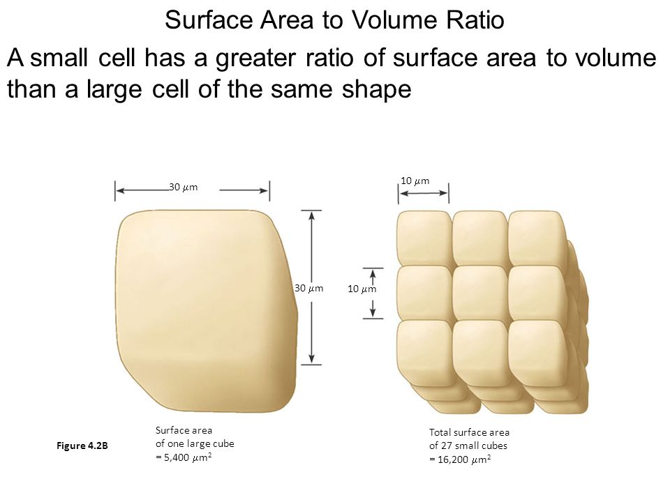 Surface Area to Volume Ratio A small cell has a greater ratio of sur face area to volume than a large cell of the same shape 30  m 10  m 30  m 10  m Surface area of one large cube  5,400  m 2 Total surface area of 27 small cubes  16,200  m 2 Figure 4.2B