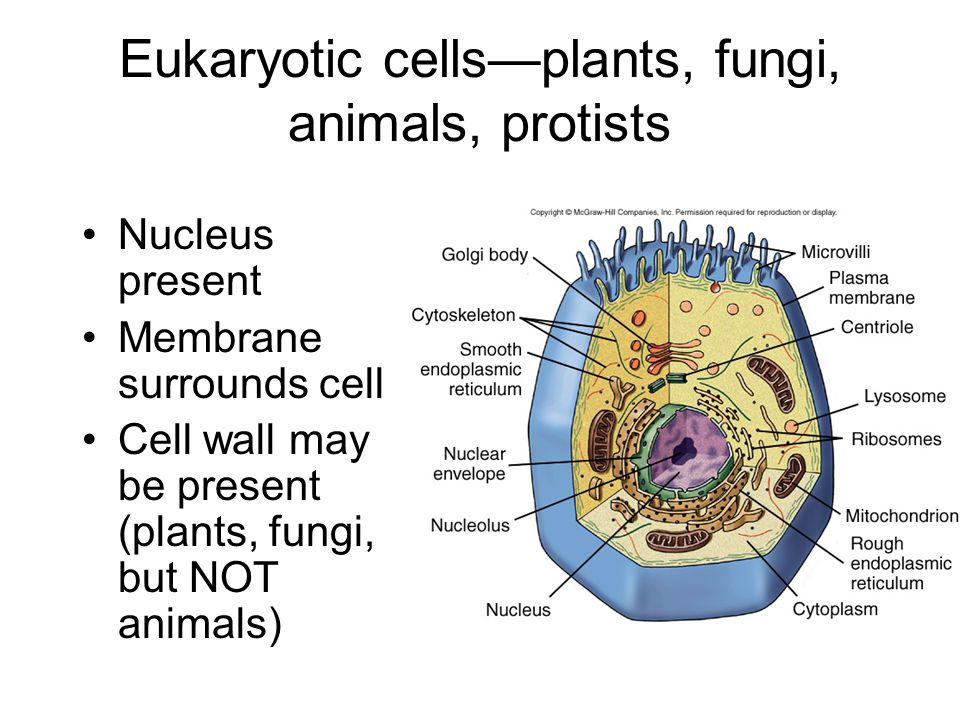 Eukaryotic cells—plants, fungi, animals, protists Nucleus present Membrane surrounds cell Cell wall may be present (plants, fungi, but NOT animals)
