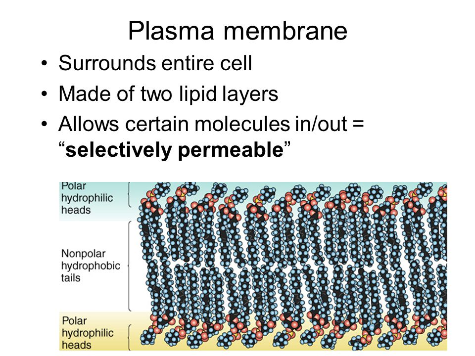 Plasma membrane Surrounds entire cell Made of two lipid layers Allows certain molecules in/out = selectively permeable