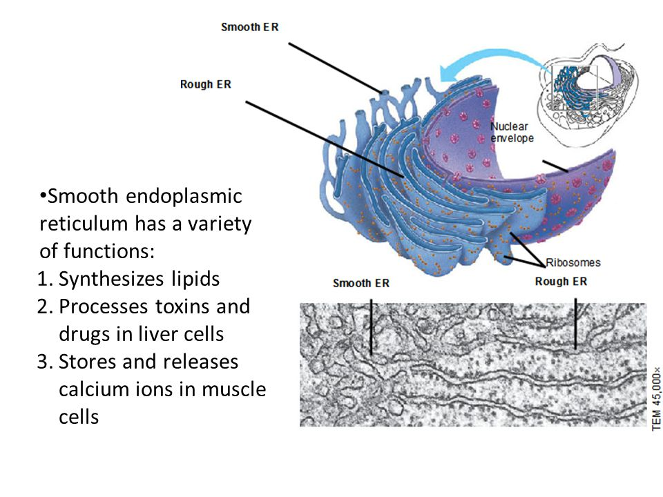 Smooth endoplasmic reticulum has a variety of functions: 1.Synthesizes lipids 2.Processes toxins and drugs in liver cells 3.Stores and releases calcium ions in muscle cells