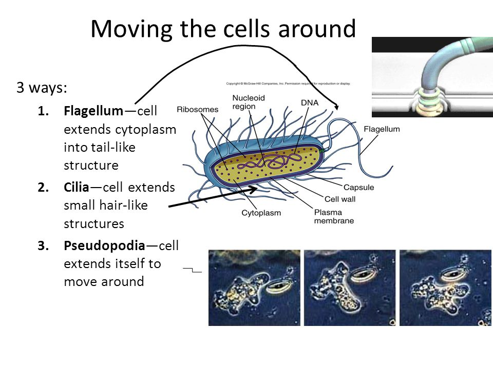 Moving the cells around 3 ways: 1.Flagellum—cell extends cytoplasm into tail-like structure 2.Cilia—cell extends small hair-like structures 3.Pseudopodia—cell extends itself to move around