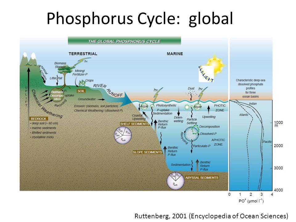 Phosphorus Cycle: global Ruttenberg, 2001 (Encyclopedia of Ocean Sciences)