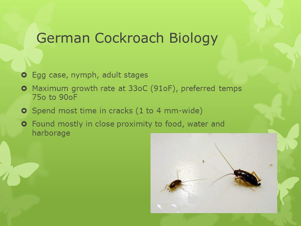 German Cockroach Biology  Egg case, nymph, adult stages  Maximum growth rate at 33oC (91oF), preferred temps 75o to 90oF  Spend most time in cracks (1 to 4 mm-wide)  Found mostly in close proximity to food, water and harborage