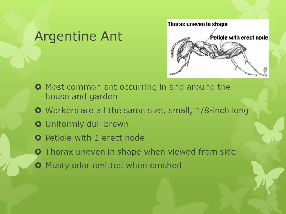 Argentine Ant  Most common ant occurring in and around the house and garden  Workers are all the same size, small, 1/8-inch long  Uniformly dull brown  Petiole with 1 erect node  Thorax uneven in shape when viewed from side  Musty odor emitted when crushed