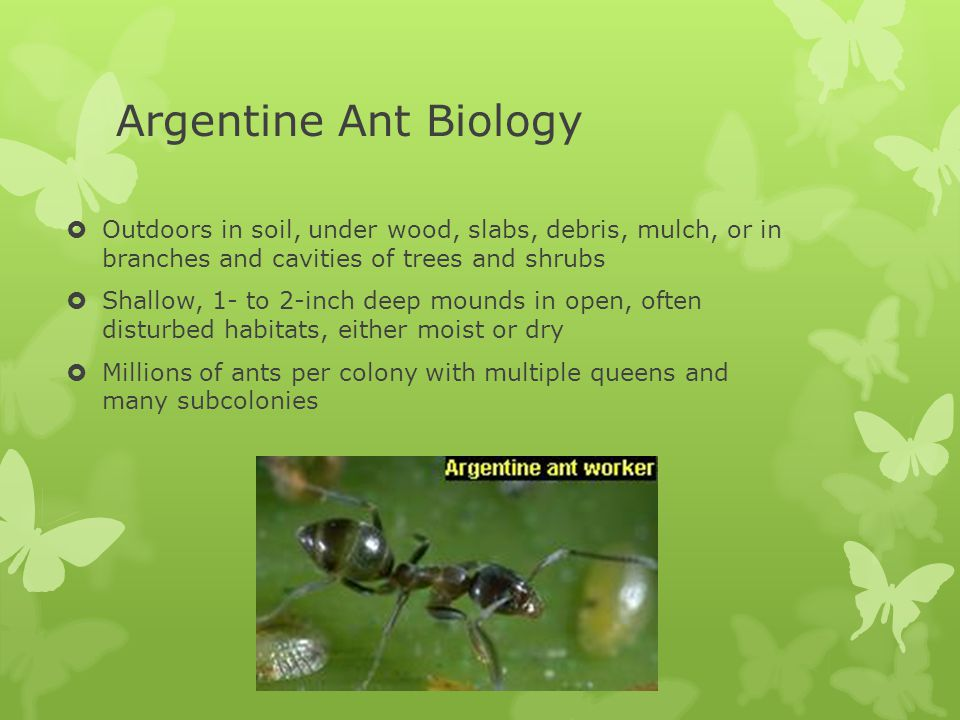 Argentine Ant Biology  Outdoors in soil, under wood, slabs, debris, mulch, or in branches and cavities of trees and shrubs  Shallow, 1- to 2-inch deep mounds in open, often disturbed habitats, either moist or dry  Millions of ants per colony with multiple queens and many subcolonies
