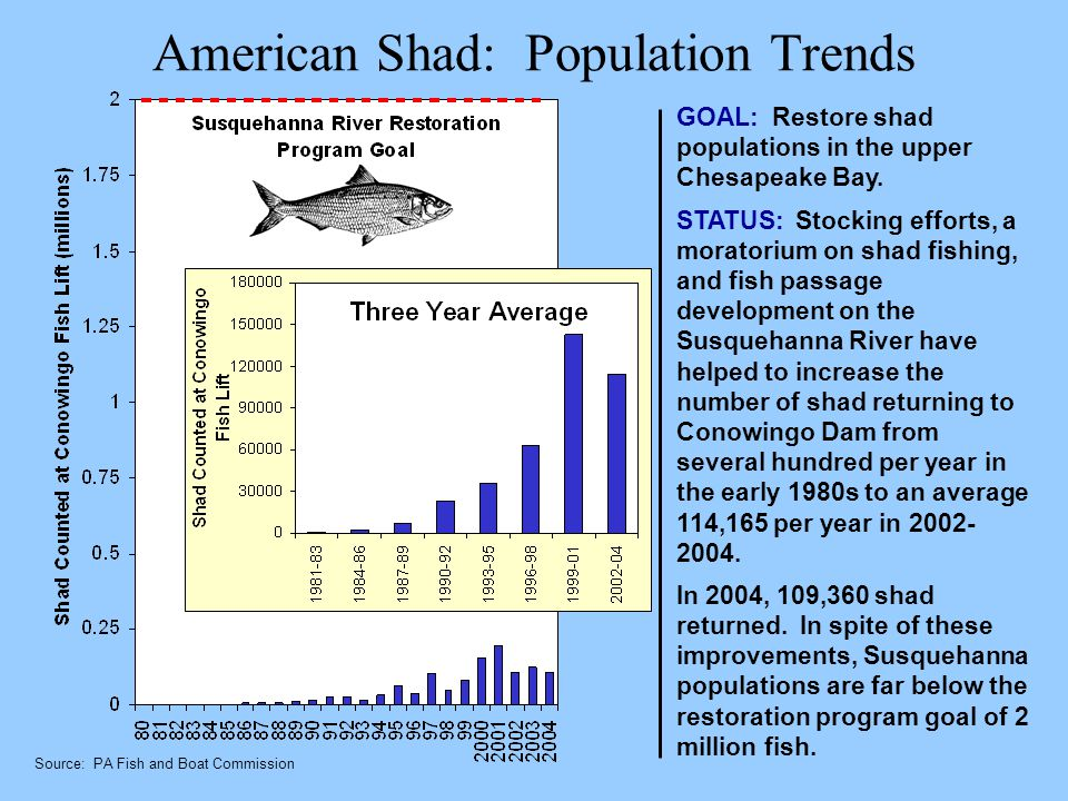 American Shad: Population Trends GOAL: Restore shad populations in the upper Chesapeake Bay. STATUS: Stocking efforts, a moratorium on shad fishing, a