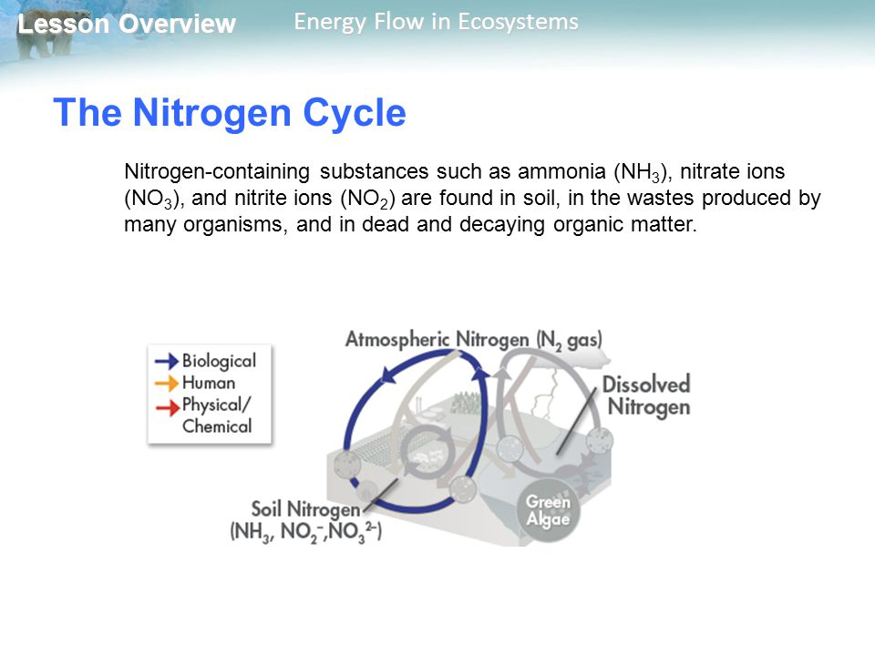 Lesson Overview Lesson Overview Energy Flow in Ecosystems The Nitrogen Cycle Nitrogen-containing substances such as ammonia (NH 3 ), nitrate ions (NO