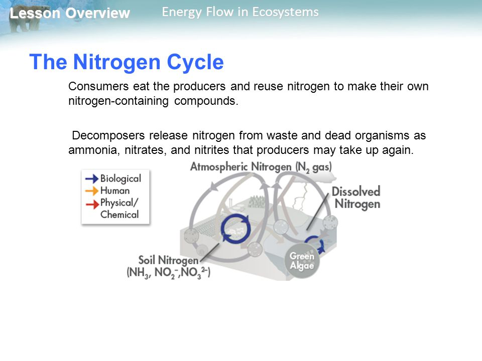 Lesson Overview Lesson Overview Energy Flow in Ecosystems The Nitrogen Cycle Consumers eat the producers and reuse nitrogen to make their own nitrogen