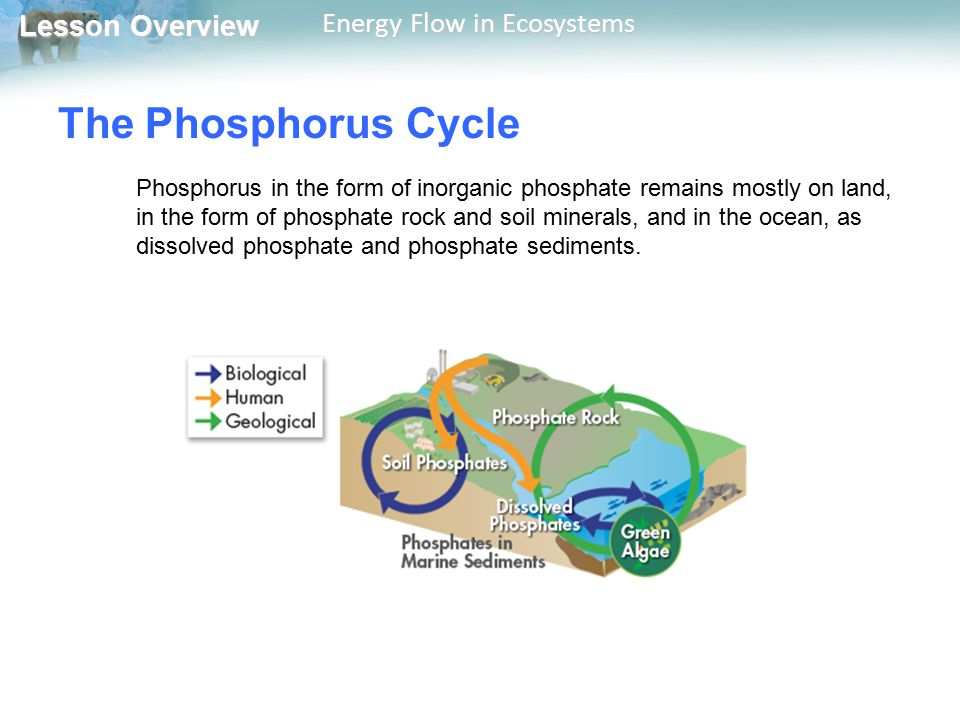 Lesson Overview Lesson Overview Energy Flow in Ecosystems The Phosphorus Cycle Phosphorus in the form of inorganic phosphate remains mostly on land, i