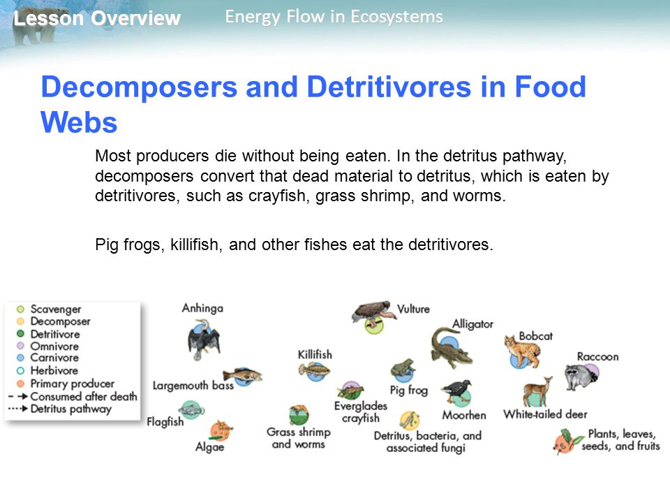 Lesson Overview Lesson Overview Energy Flow in Ecosystems Decomposers and Detritivores in Food Webs Most producers die without being eaten. In the det