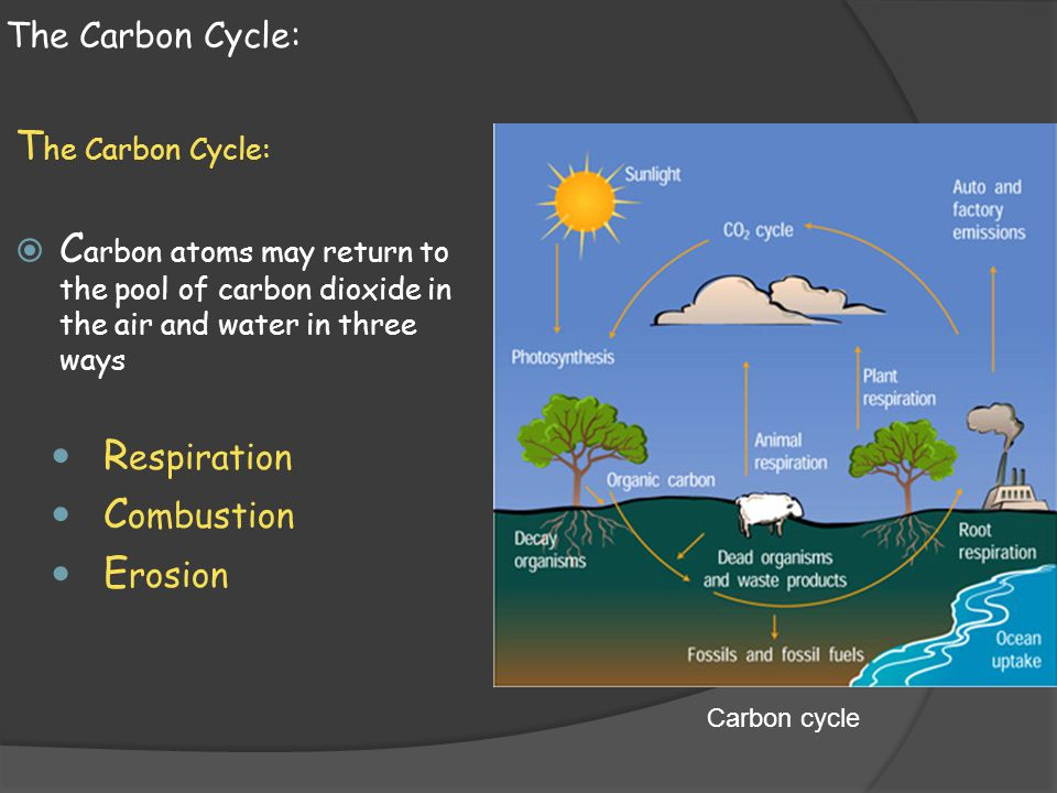 The Carbon Cycle:  C arbon atoms may return to the pool of carbon dioxide in the air and water in three ways R espiration C ombustion E rosion Carbon