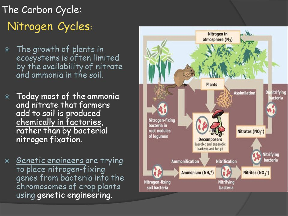 The Carbon Cycle: Nitrogen Cycles :  The growth of plants in ecosystems is often limited by the availability of nitrate and ammonia in the soil.  To