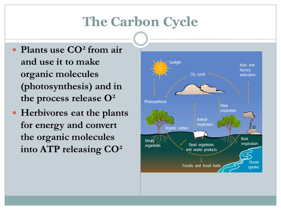 The Carbon Cycle Plants use CO² from air and use it to make organic molecules (photosynthesis) and in the process release O² Herbivores eat the plants for energy and convert the organic molecules into ATP releasing CO²
