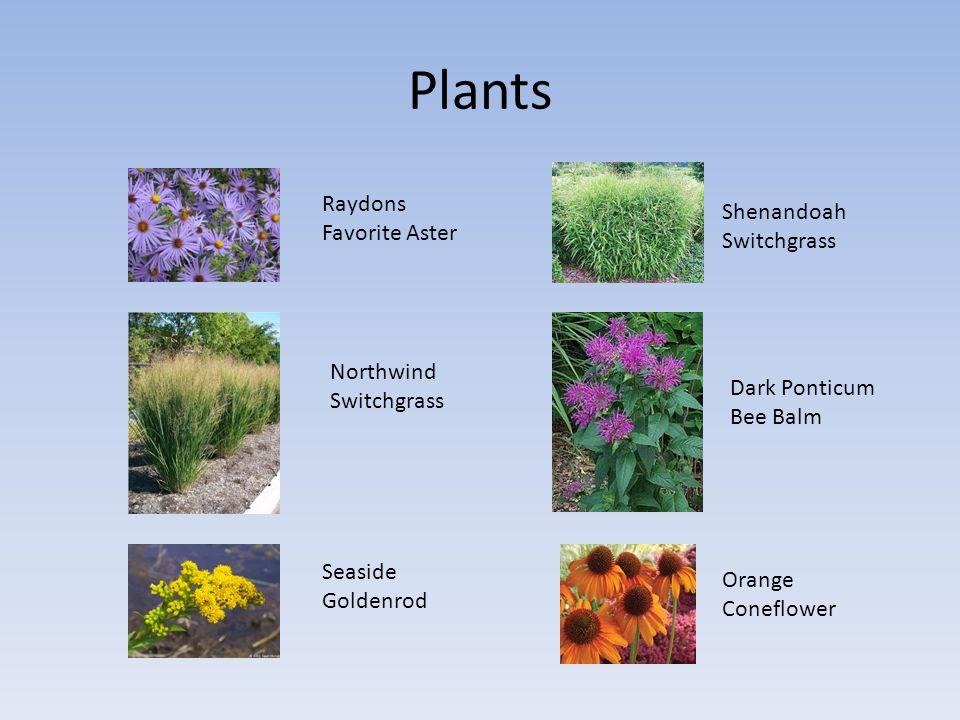 Plants Raydons Favorite Aster Northwind Switchgrass Seaside Goldenrod Dark Ponticum Bee Balm Shenandoah Switchgrass Orange Coneflower