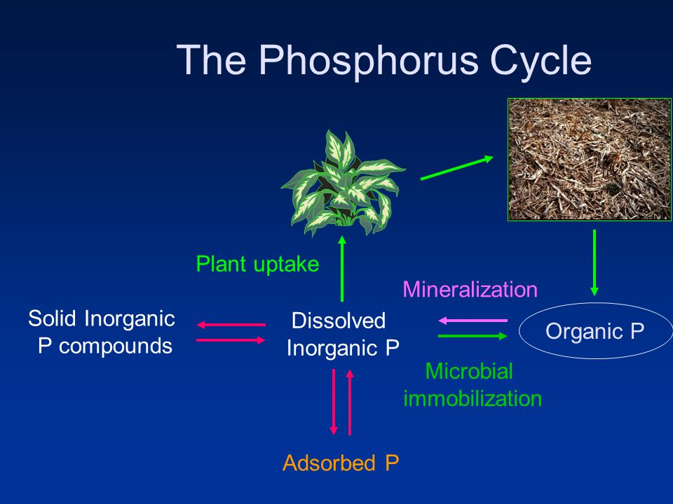 The Phosphorus Cycle Adsorbed P Solid Inorganic P compounds Dissolved Inorganic P Organic P Plant uptake Microbial immobilization Mineralization