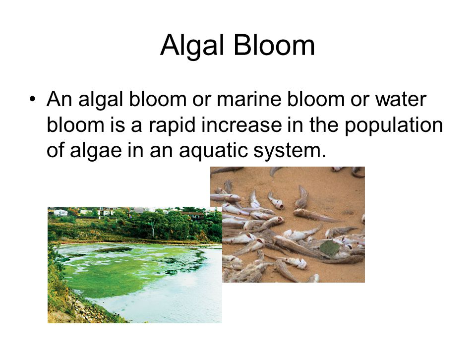 Algal Bloom An algal bloom or marine bloom or water bloom is a rapid increase in the population of algae in an aquatic system.