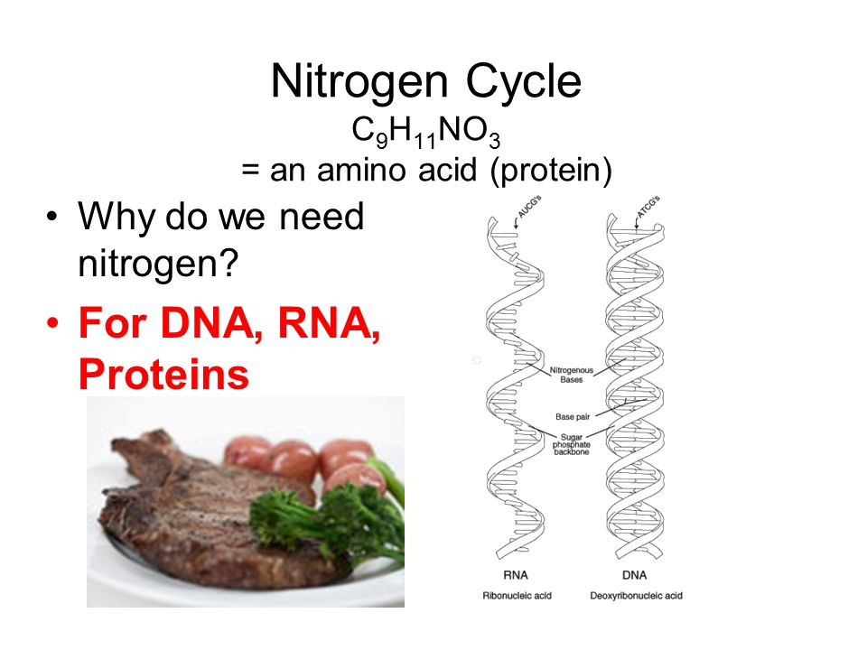 Nitrogen Cycle C 9 H 11 NO 3 = an amino acid (protein) Why do we need nitrogen? For DNA, RNA, Proteins