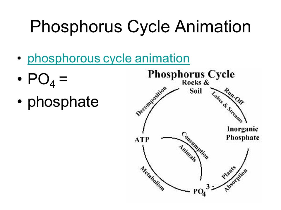 Phosphorus Cycle Animation phosphorous cycle animation PO 4 = phosphate