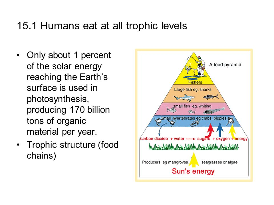 15.1 Humans eat at all trophic levels Only about 1 percent of the solar energy reaching the Earth's surface is used in photosynthesis, producing 170 billion tons of organic material per year.