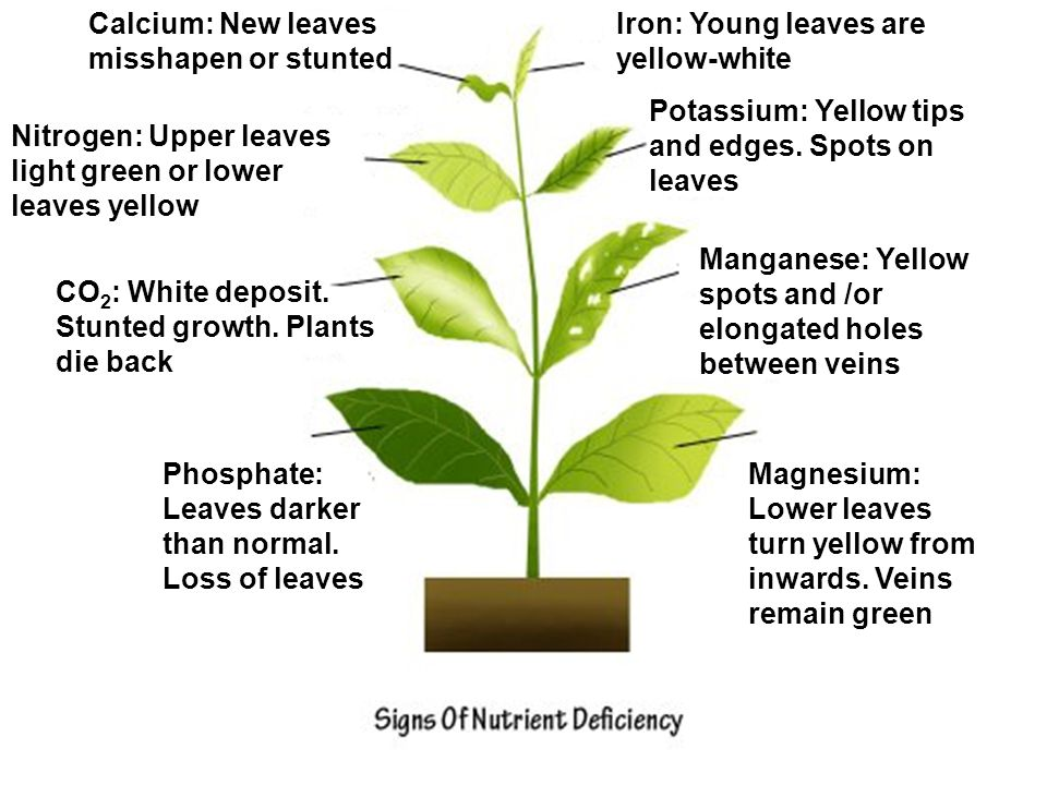 Phosphate: Leaves darker than normal. Loss of leaves Magnesium: Lower leaves turn yellow from inwards. Veins remain green CO 2 : White deposit. Stunte
