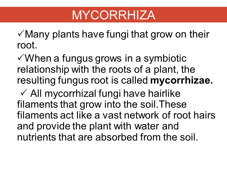 MYCORRHIZA  Many plants have fungi that grow on their root.