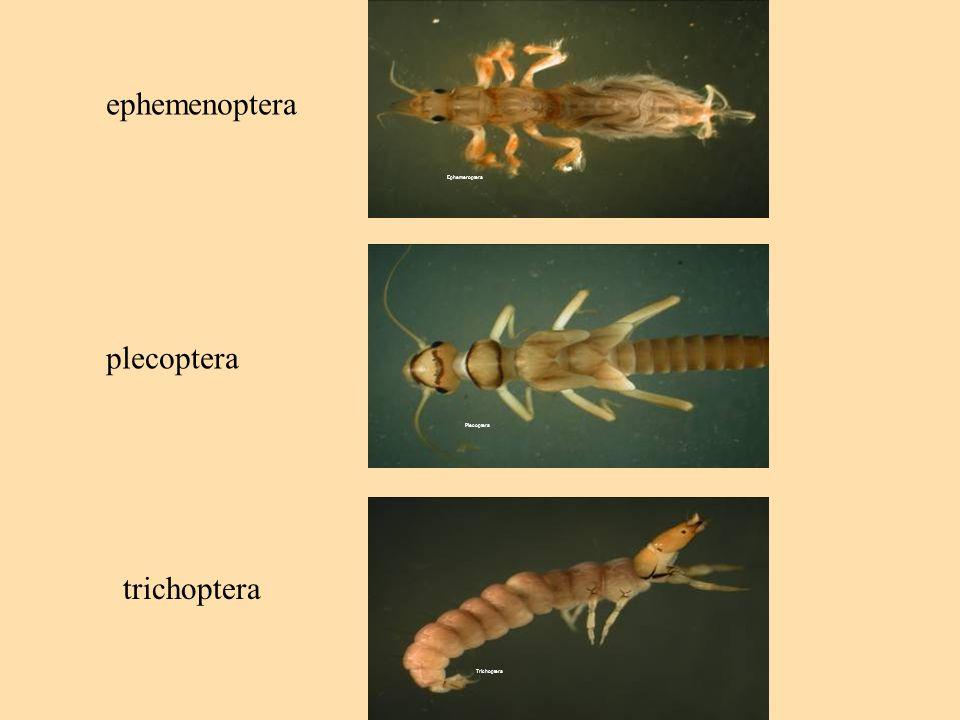 Ephemeroptera Plecoptera Trichoptera ephemenoptera plecoptera trichoptera