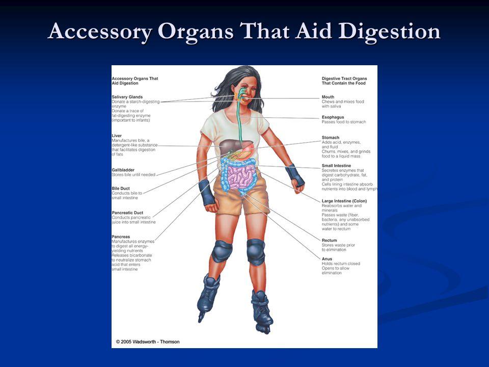 Accessory Organs That Aid Digestion