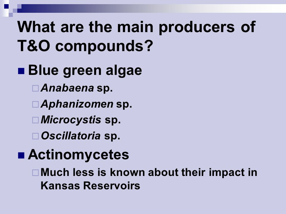 What are the main producers of T&O compounds. Blue green algae  Anabaena sp.