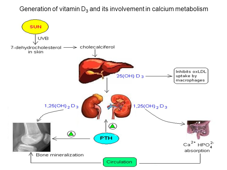 Generation of vitamin D 3 and its involvement in calcium metabolism
