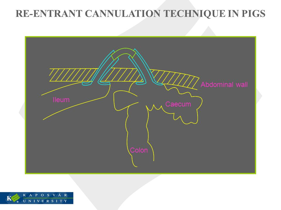 RE-ENTRANT CANNULATION TECHNIQUE IN PIGS Abdominal wall Caecum Colon Ileum