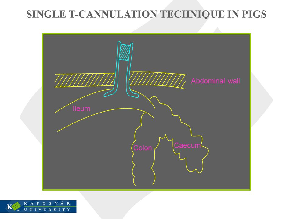 SINGLE T-CANNULATION TECHNIQUE IN PIGS Abdominal wall Ileum Colon Caecum
