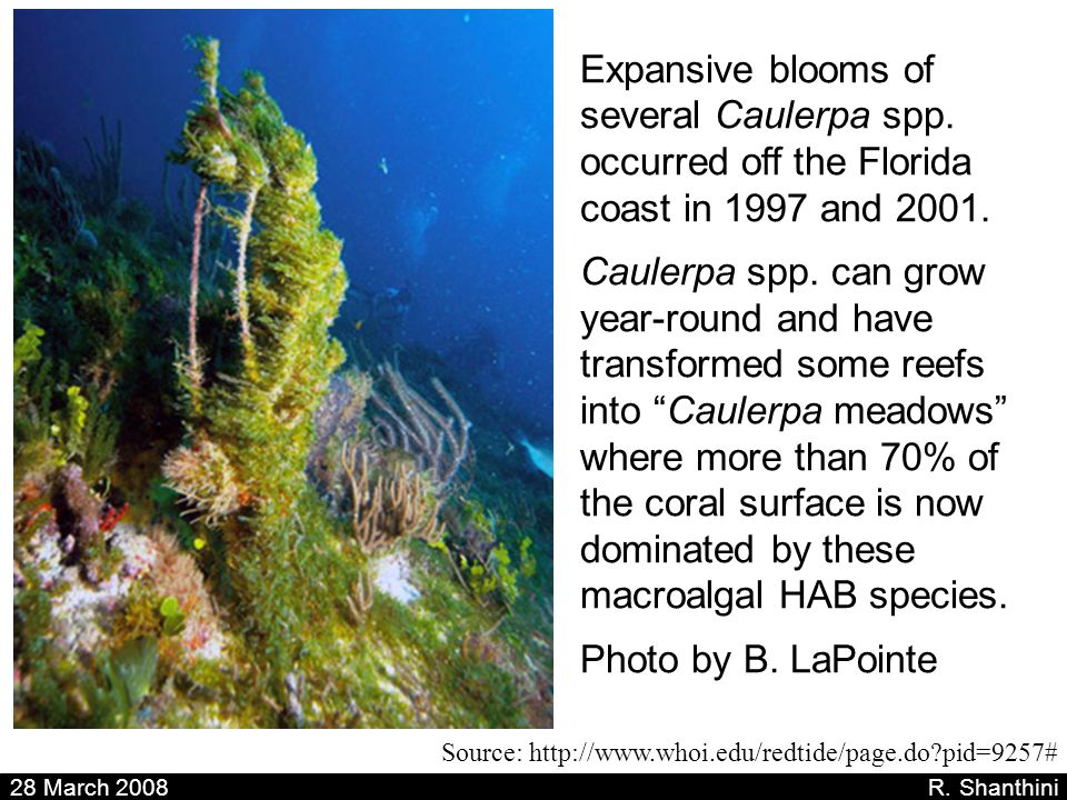 28 March 2008 R. Shanthini Source: http://www.whoi.edu/redtide/page.do?pid=9257# Expansive blooms of several Caulerpa spp. occurred off the Florida co