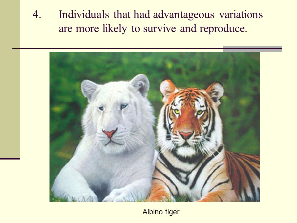 4.Individuals that had advantageous variations are more likely to survive and reproduce. Albino tiger