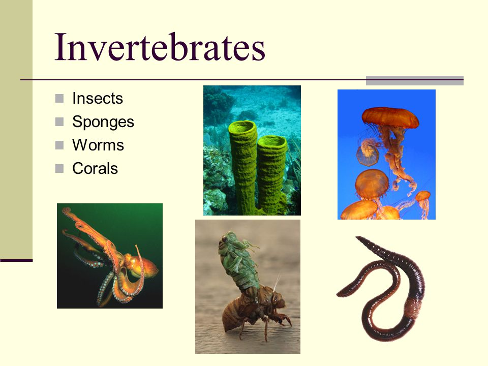 Invertebrates Insects Sponges Worms Corals