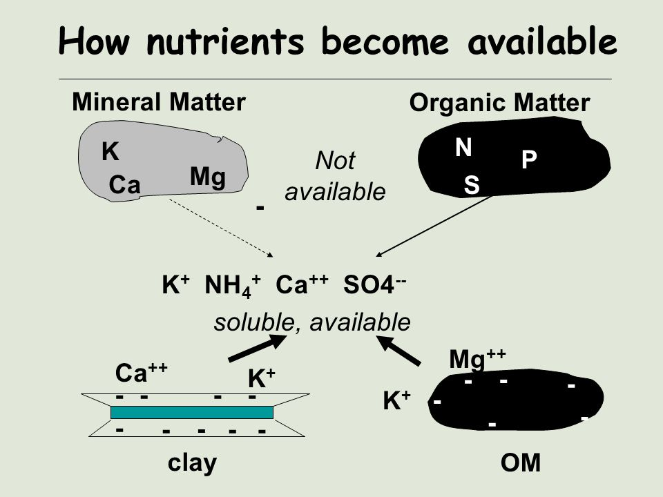 How nutrients become available Mineral Matter Organic Matter K Mg Ca N S P K + NH 4 + Ca ++ SO4 -- soluble, available Not available - - -- - - - - - -- Ca ++ K+K+ clay OM - - - - - - Mg ++ K+K+