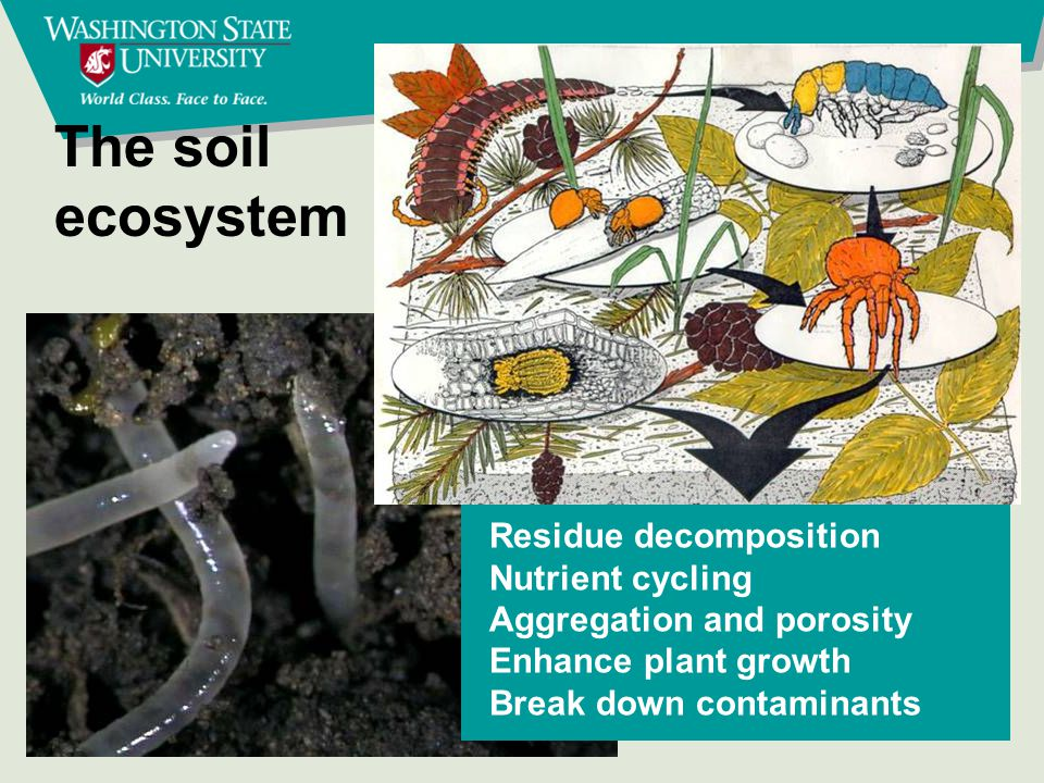 The soil ecosystem Residue decomposition Nutrient cycling Aggregation and porosity Enhance plant growth Break down contaminants