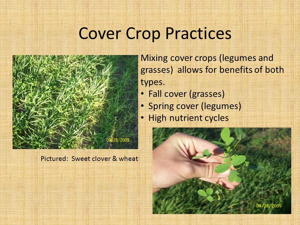 Mixing cover crops (legumes and grasses) allows for benefits of both types. Fall cover (grasses) Spring cover (legumes) High nutrient cycles Pictured: