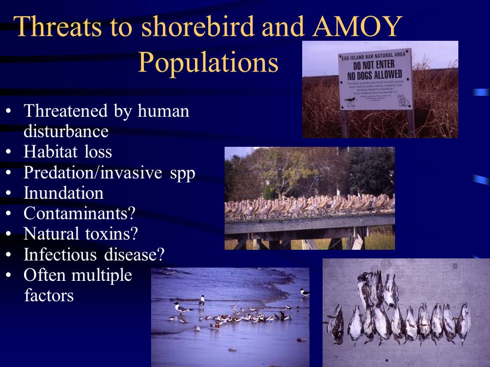 Threats to shorebird and AMOY Populations Threatened by human disturbance Habitat loss Predation/invasive spp Inundation Contaminants.